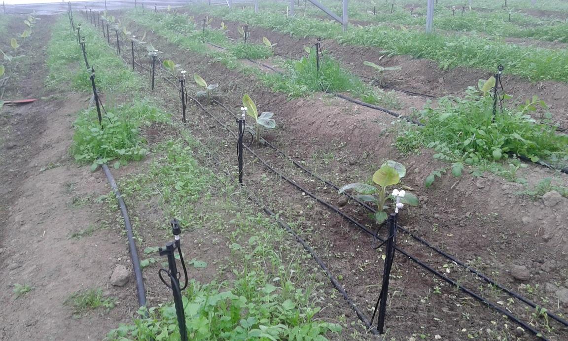 Muz, Ejder Meyvesi (Pitaya) Seraları Sisleme, Damlama ve Spring Sulama sistemleri kurulumu